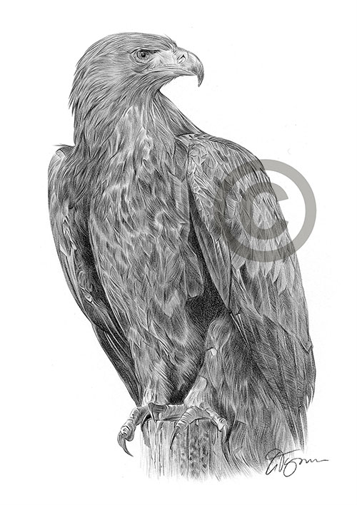 Golden Eagle dog pencil drawing thumbnail