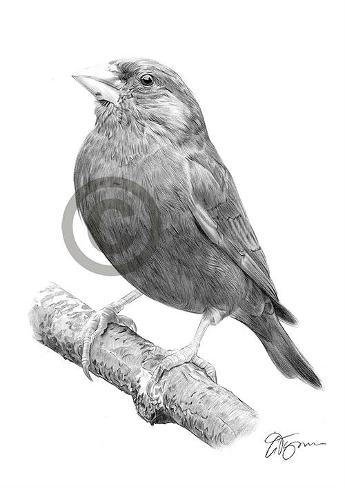 Greenfinch pencil drawing thumbnail