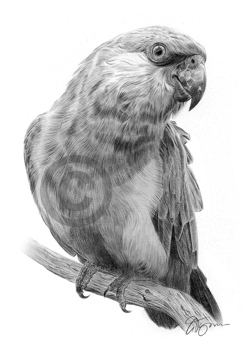 Parrot pencil drawing by artist Gary Tymon