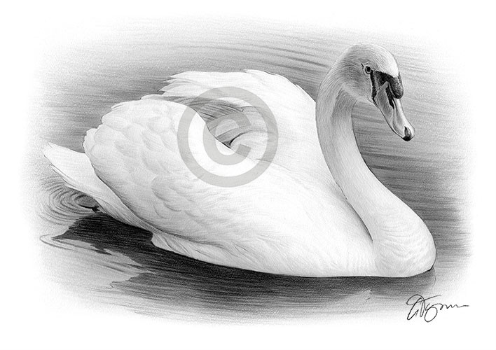 Swan pencil drawing thumbnail