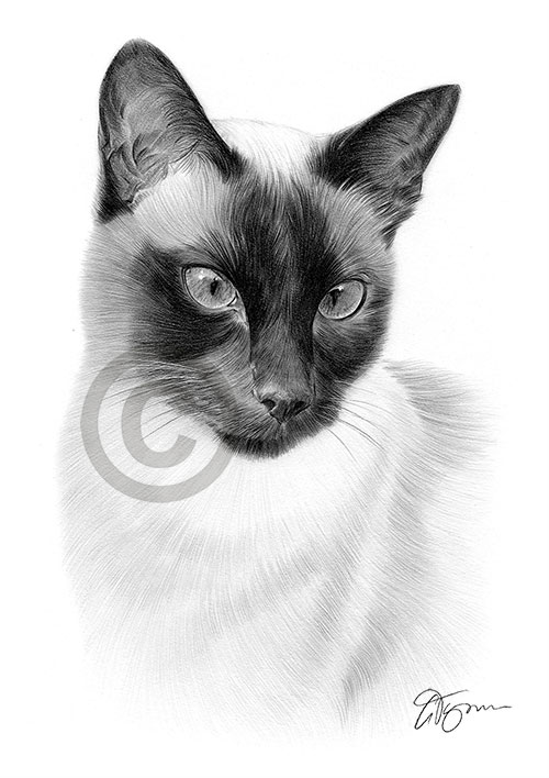 Siamese Cat pencil drawing artwork