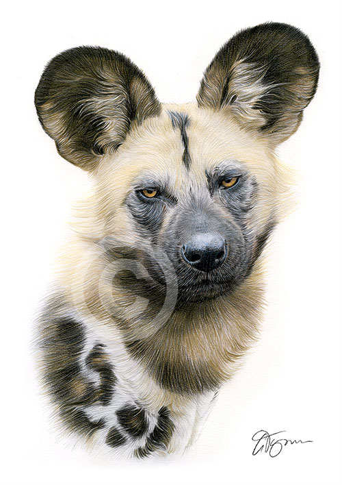 Colour pencil drawing of an African wild dog