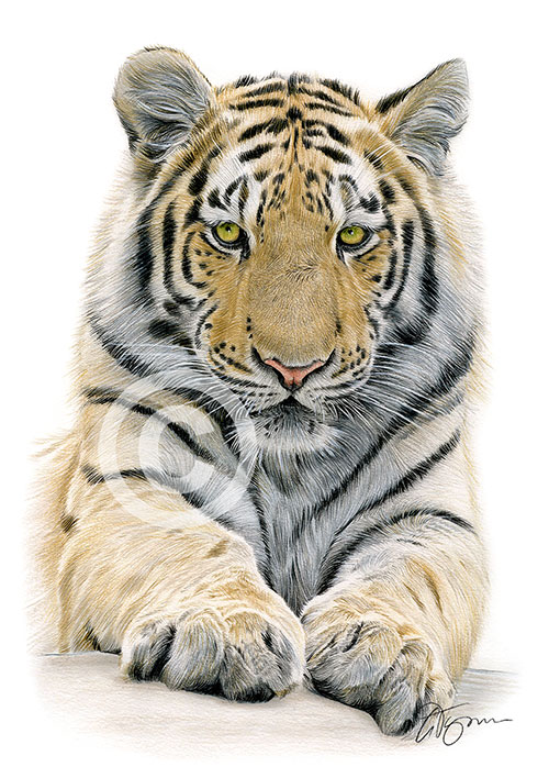 Colour pencil drawing of a Bengal Tiger