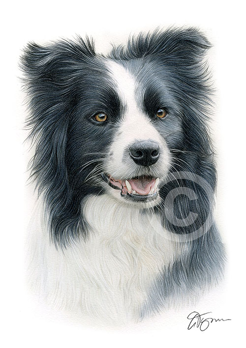 Colour pencil drawing of a Border Collie