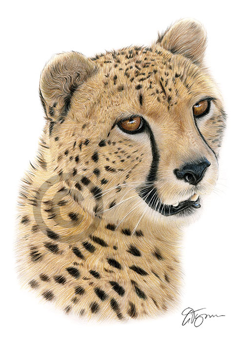 Colour pencil drawing of a cheetah