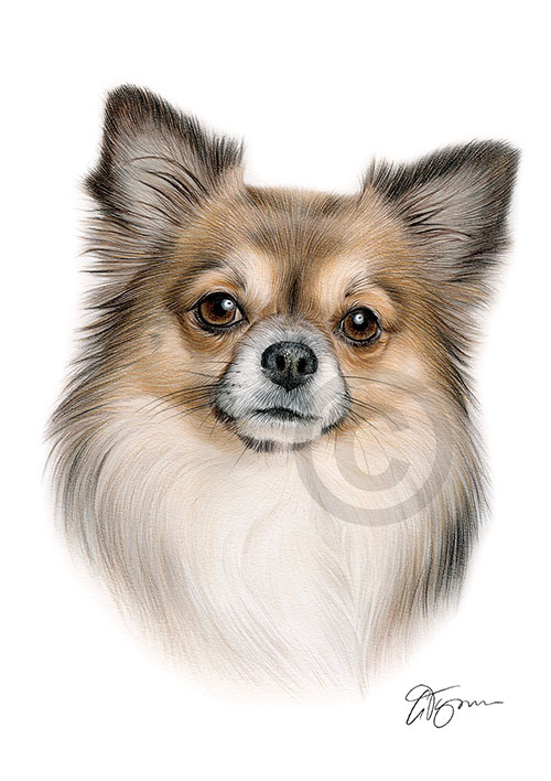 Colour pencil drawing of a Chihuahua