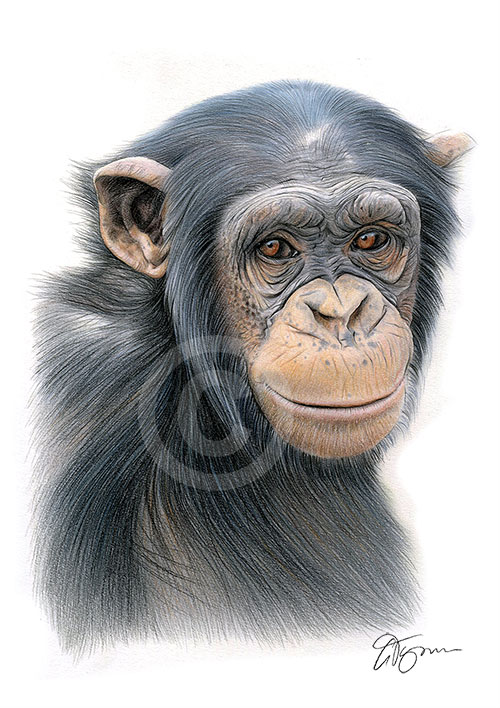 Colour pencil drawing of a chimpanzee