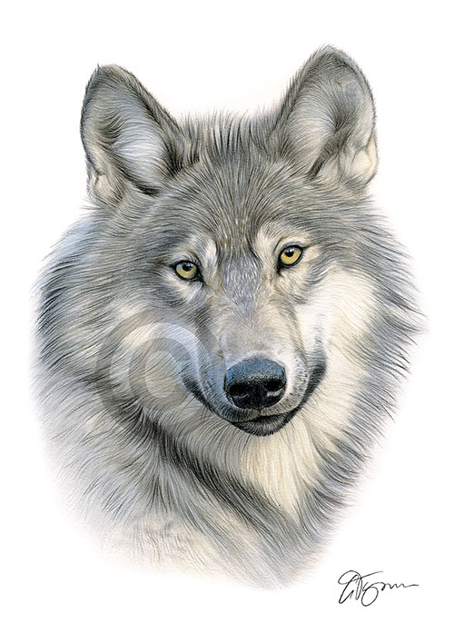 Colour pencil drawing of a Grey Wolf