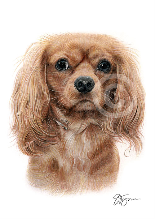 Colour pencil drawing of a King Charles Spaniel