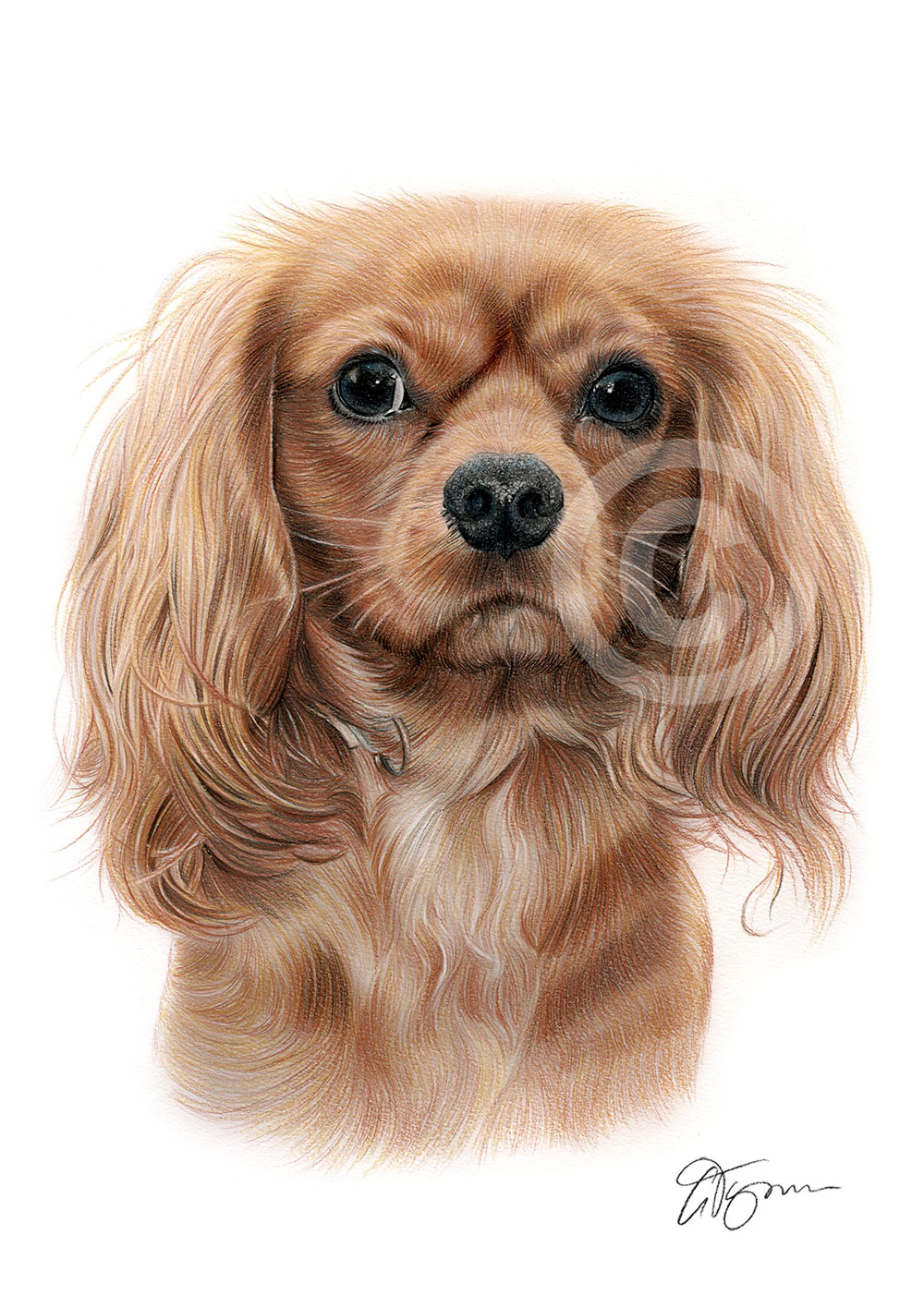 Colour pencil drawing of a King Charles Spaniel by artist Gary Tymon