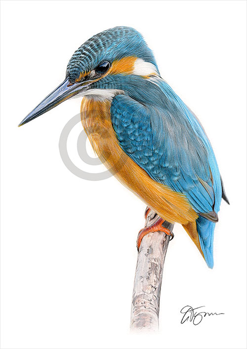 Colour pencil drawing of a Kingfisher