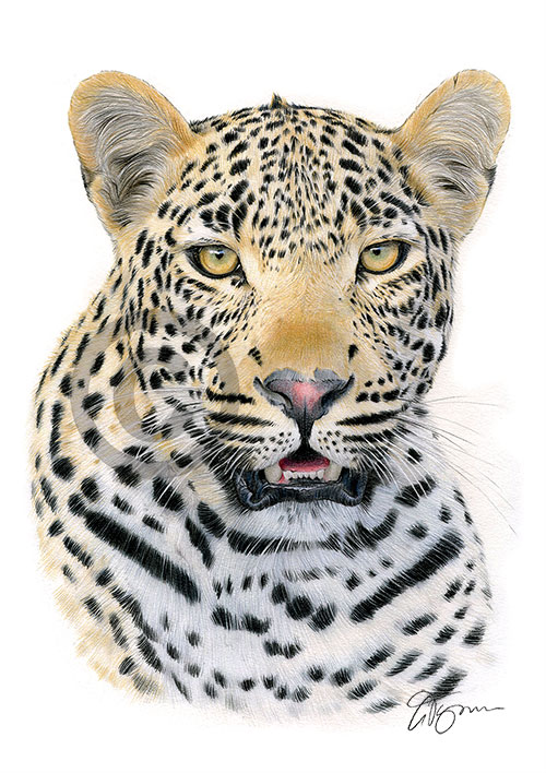Colour pencil drawing of a leopard