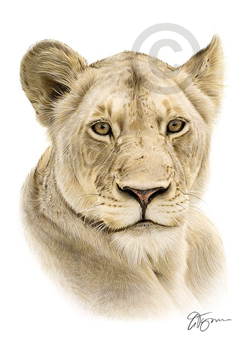 Colour pencil drawing of an African Lioness