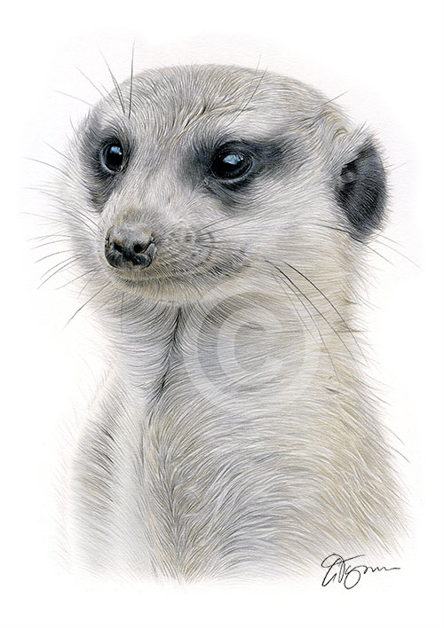 Colour pencil drawing of a meerkat