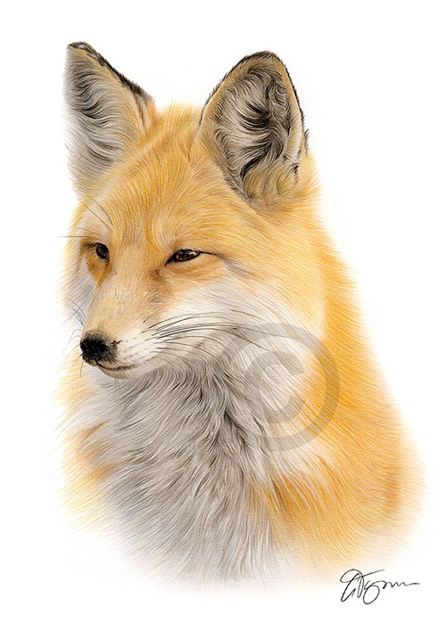 Colour pencil drawing of a red fox