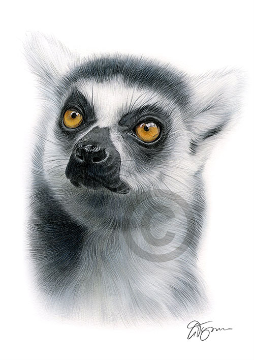 Colour pencil drawing of a ring-tailed lemur