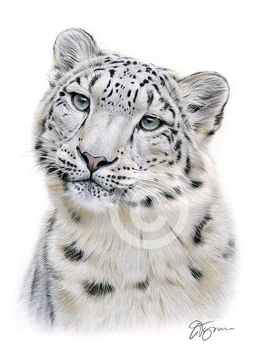Colour pencil drawing of a snow leopard