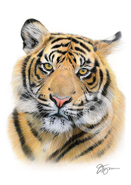 Colour pencil drawing of a Sumatran tiger