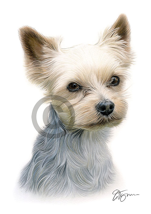 Colour pencil drawing of a Yorkshire Terrier