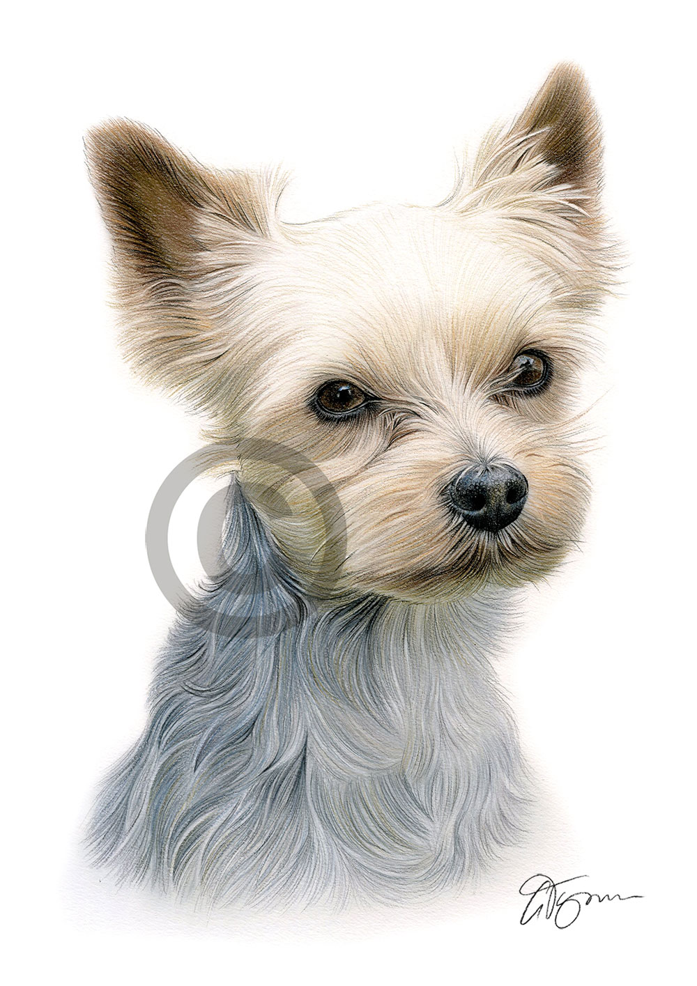 Colour pencil drawing of a Yorkshire Terrier by artist Gary Tymon
