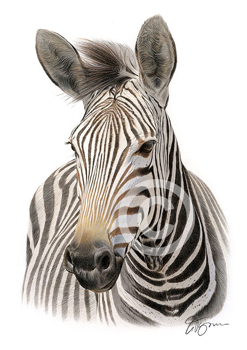 Colour pencil drawing of a zebra