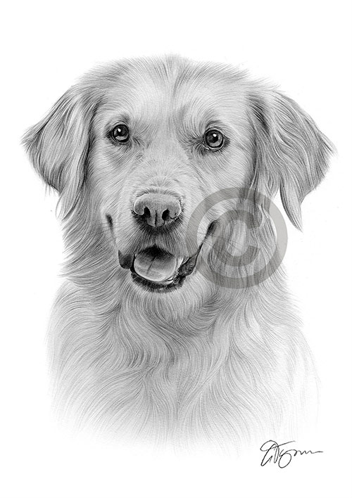 Adult Golden Retriever dog pencil drawing thumbnail