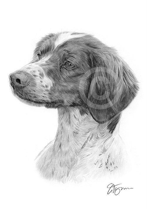 Adult Brittany Spaniel dog pencil drawing thumbnail