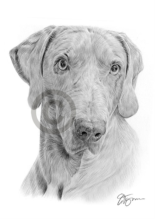 Adult Weimaraner dog pencil drawing thumbnail