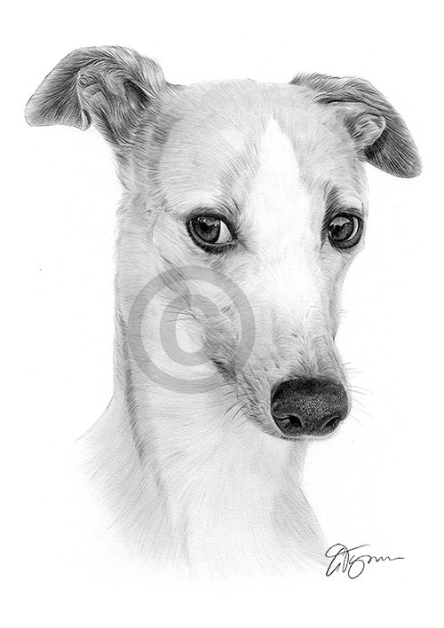 Whippet pencil drawing thumbnail