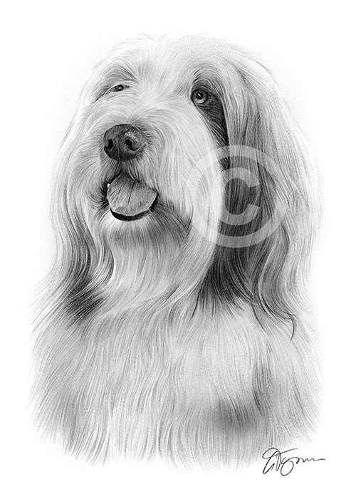 Bearded Collie dog pencil drawing thumbnail