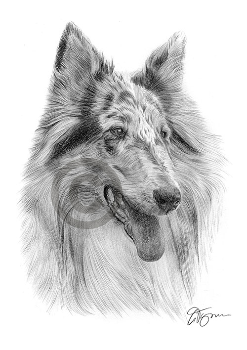 Blue merle Rough Collie dog pencil drawing thumbnail