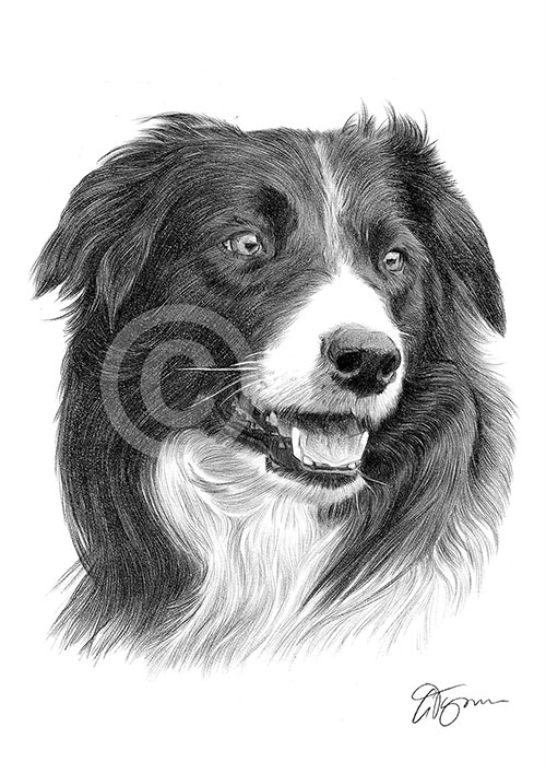Adult Border Collie dog pencil drawing thumbnail