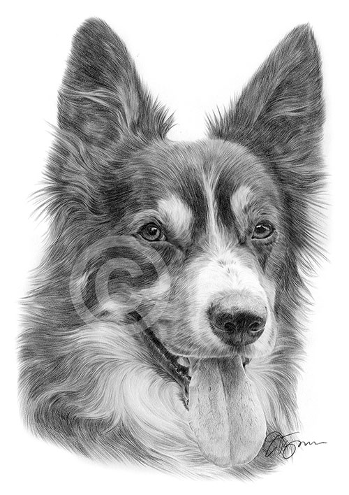 Black and white Border Collie dog pencil drawing thumbnail