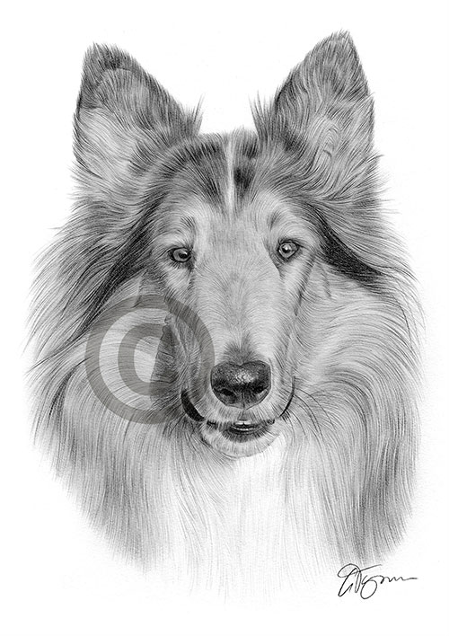 Adult Rough Collie dog pencil drawing thumbnail
