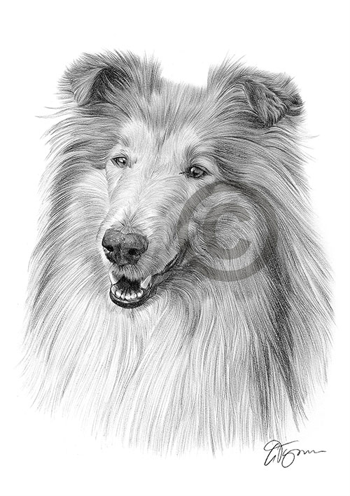 Rough Collie dog pencil drawing thumbnail