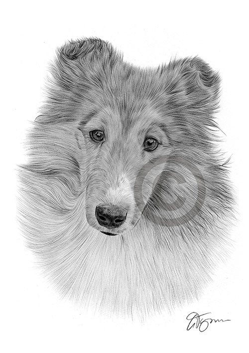 Adult Sheltie dog pencil drawing thumbnail