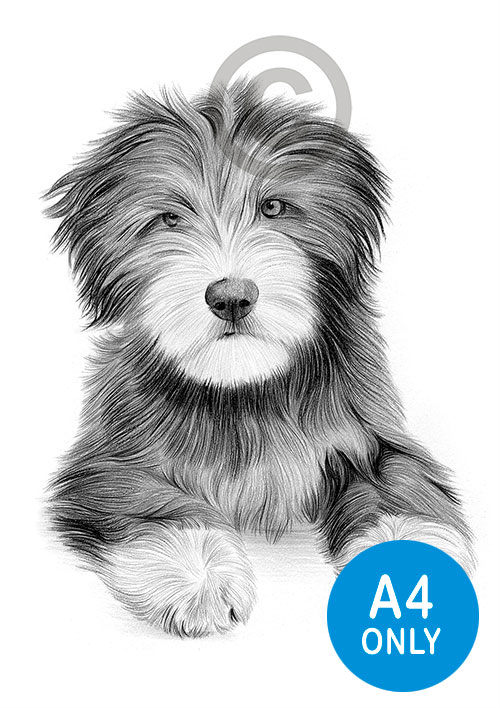 Pencil drawing of a Bearded Collie puppy