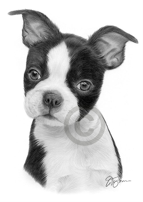 Pencil drawing of a young Boston Terrier puppy
