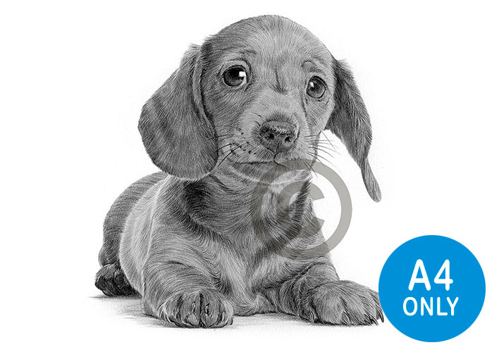 Pencil drawing of a Dachshund puppy