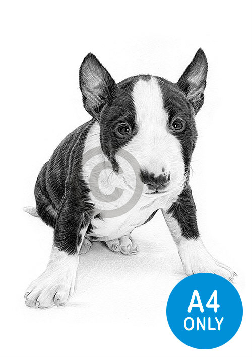 Pencil drawing of an English Bull Terrier puppy