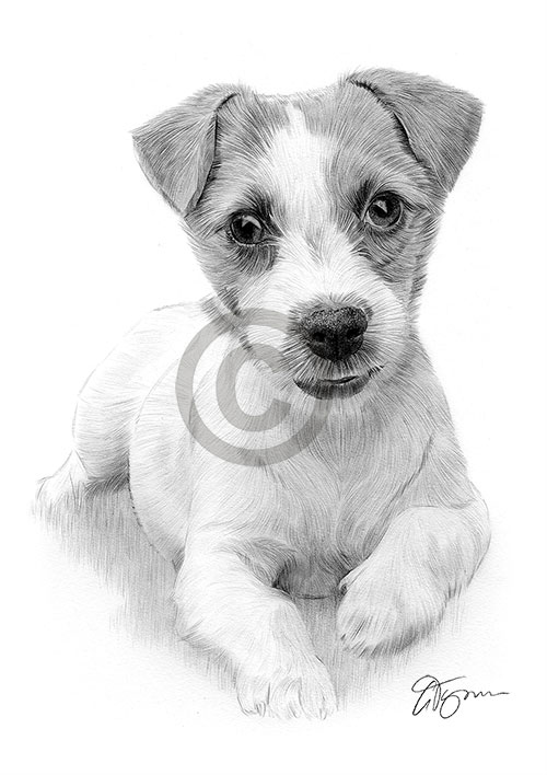 Pencil drawing of a young Jack Russell Terrier puppy