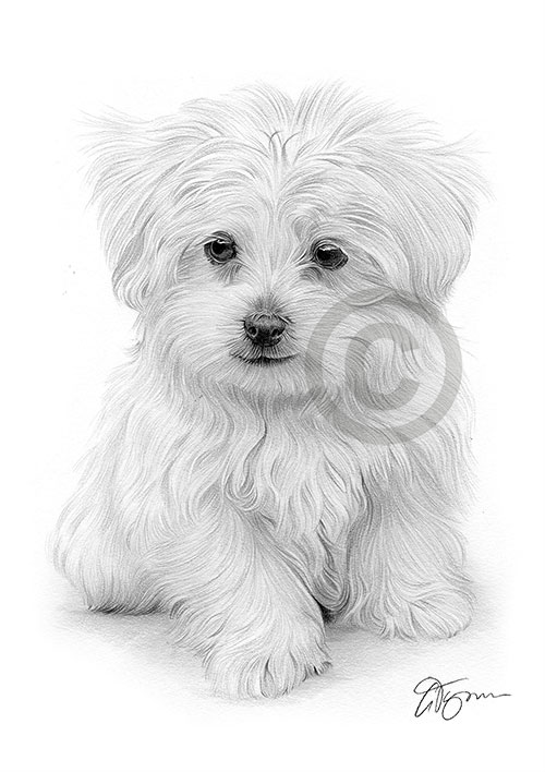 Pencil drawing of a Maltese puppy