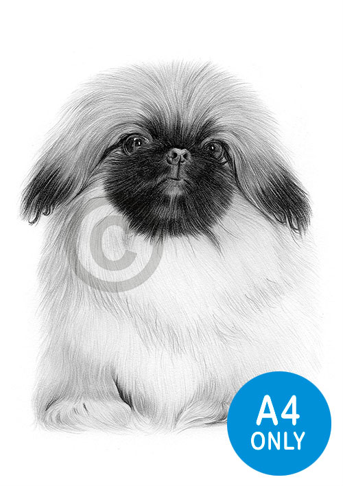 Pencil drawing of a Pekingnese puppy