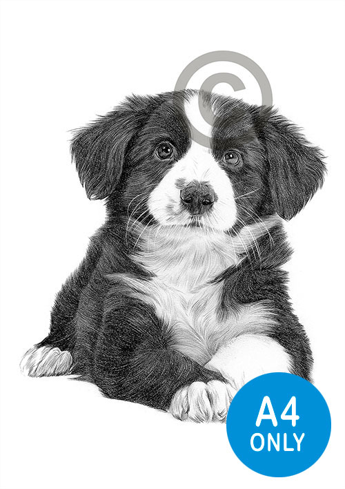 Pencil drawing of a Border Collie puppy