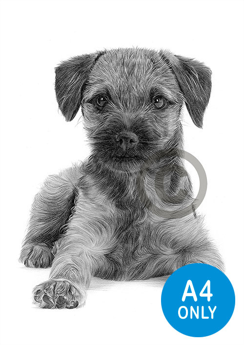 Pencil drawing of a Border Terrier puppy
