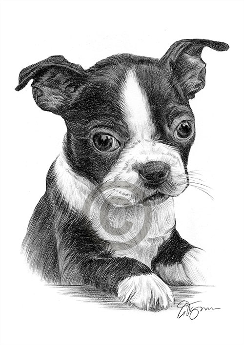 Pencil drawing of a Boston Terrier puppy