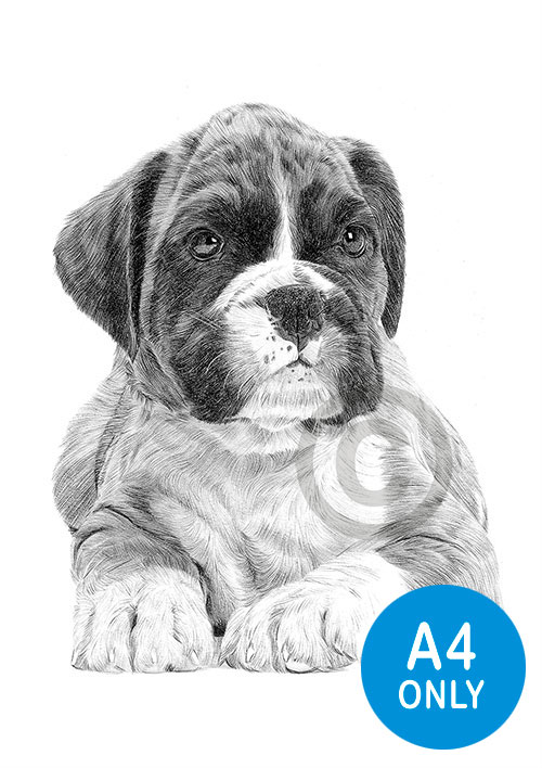 Pencil drawing of a Boxer puppy