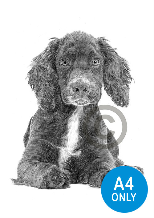 Pencil drawing of a Cocker Spaniel puppy