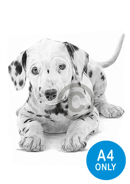 Pencil drawing of a Dalmation puppy