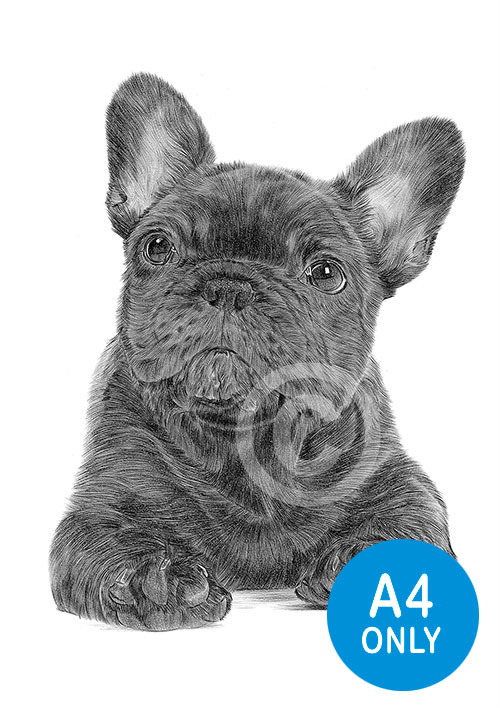 Pencil drawing of a French Bulldog puppy